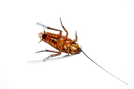 The cockroach isolated on the white background. Stockfoto