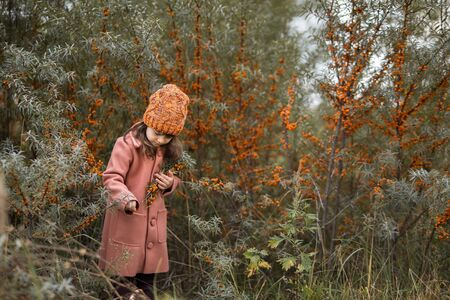 beautiful girl collects sea buckthorn berries from a bush. preschool child in an orange hat and a brown coat