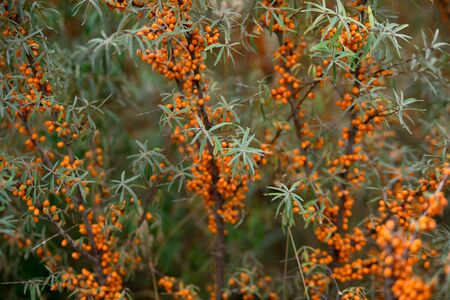 Background. Orange berries of sea buckthorn on branches with leaves. Autumn photo in cold shades.