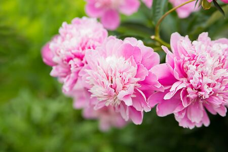 garden peonies. beautiful photo of a pink luxurious flower for a card.
