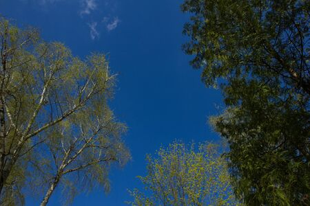 view from the bottom up. tops of deciduous and coniferous trees against the blue sky. young spring leaves.