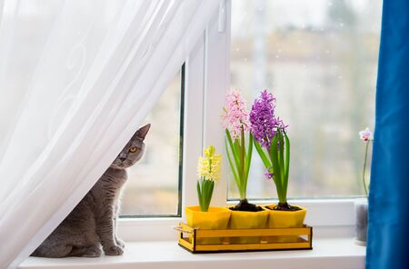 funny gray british cat hiding behind a translucent white tulle curtain