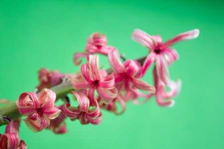 a close photo of a dried pink hyacinth flower on a green background.