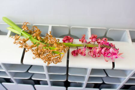 a sprig of hyacinth flower is dried on a hot battery.