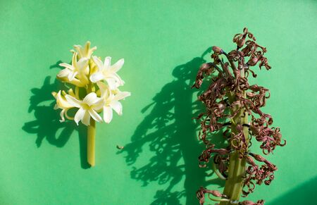 comparison of fresh and dried hyacinth flower on a green background, shadows.