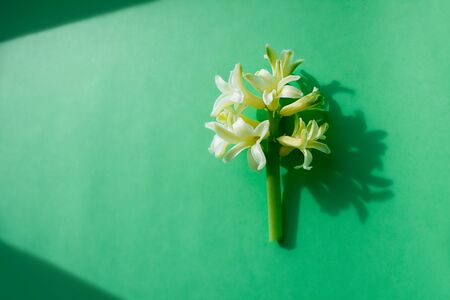 Close photo of a light yellow hyacinth flower on a green background and with hard shadows