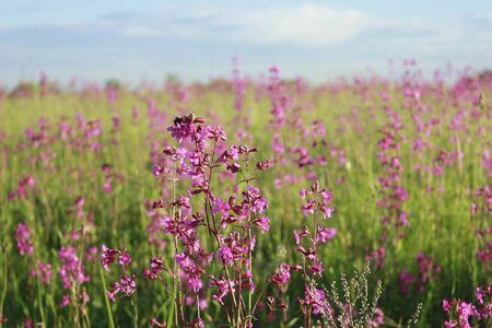 Viscaria vulgaris. wild purple flower on the field. horizontal photo. macro photo. 免版税图像