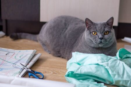 gray british cat lies on the drawings and fabric. cutting and sewing at home.