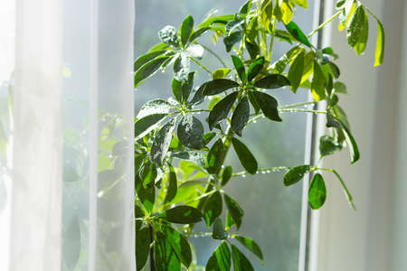 Sheffler's house plant with green umbelous leaves stands on the windowsill of the house.
