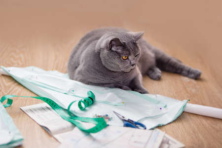 serious big gray british shorthair cat with tailor sits on the floor next to patterns, tailor cloth and scissors.