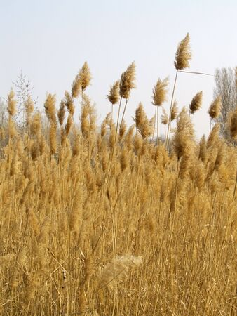 previous: Reed stems in spring, left from previous year
