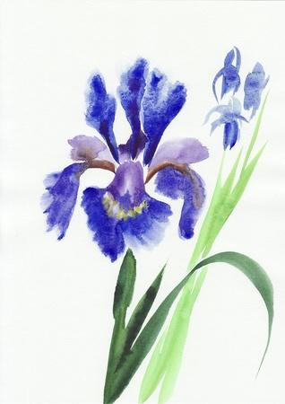 Iris bleu fleurit la peinture d'aquarelle originale