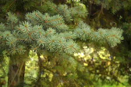 Pine tree branches on natural green background with beautiful bokeh effect photo