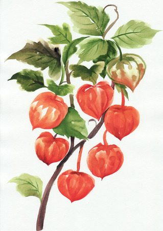 physalis: A branch of physalis, original style watercolor painting.
