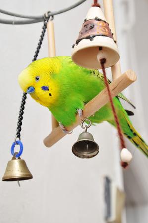 Beautiful playful green budgerigar swinging on a wooden teeter