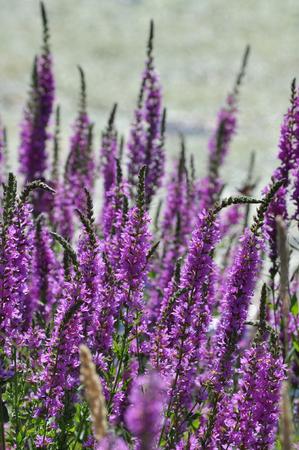Purple spiky flowers against blury green water