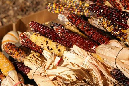 Holiday Corn Crop photo