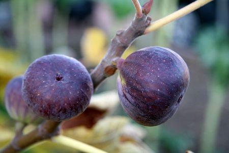 Plump Ripe Figs Still on the Vine