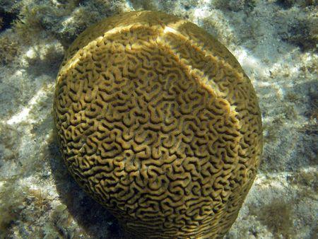 Underwater Brain Coral in Great Barrier Reef