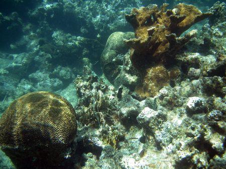 brain coral: Underwater Brain Coral in Great Barrier Reef