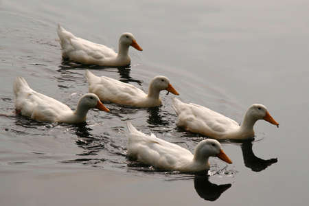 White Ducks Swimming in Formation in Pond
