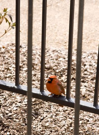 Red Cardinal Bird Perched on Metal Railing