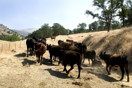 Farm Cattle on a Ranch Moving Around Stock Photo - 4153077