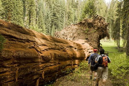 Men Hiking Along Fallen Redwood Tree in Sequoia National Park