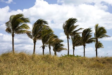 viento soplando: Palmeras en el viento en la Florida