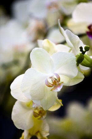 Beautiful White Orchid Flower in Garden