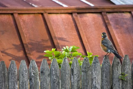 Robin Bird Perched on Wooden Fence Фото со стока