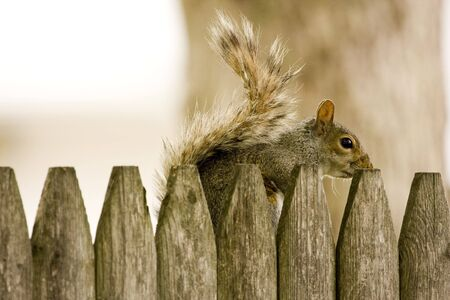 Squirrel Hiding Behind Wooden Fence Фото со стока