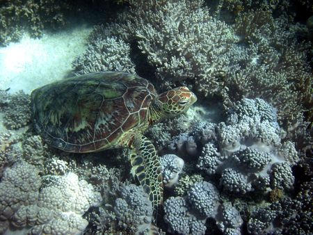 reef fish: Sea Turtle in Great Barrier Reef - Australia Stock Photo