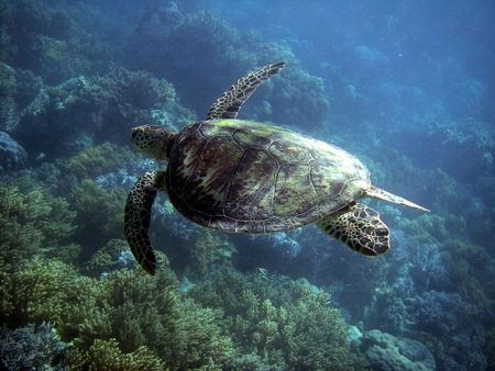 great barrier reef: Sea Turtle in Great Barrier Reef - Australia Stock Photo