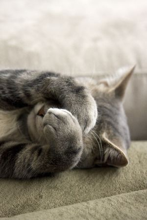 얼굴에 발을 가진 부끄러운 회색 고양이