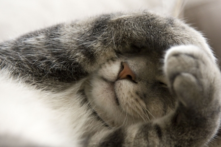 Verlegen Gray Cat met Paws over Face Stockfoto