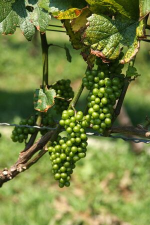 Organic Green Grapes in Vineyard Field for Picking