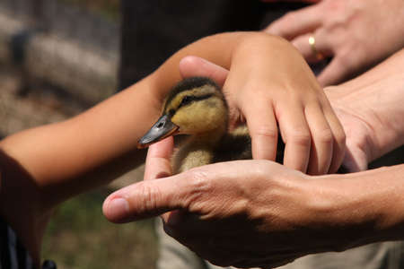 Child Picking up Baby Duck from Parents Hands