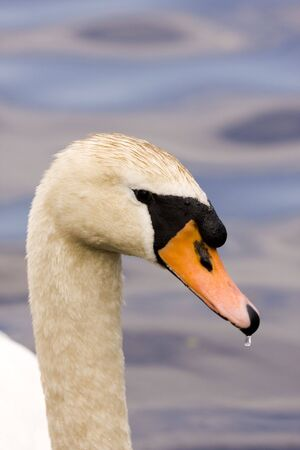 Elegant White Swan on Blue Lake Close-up