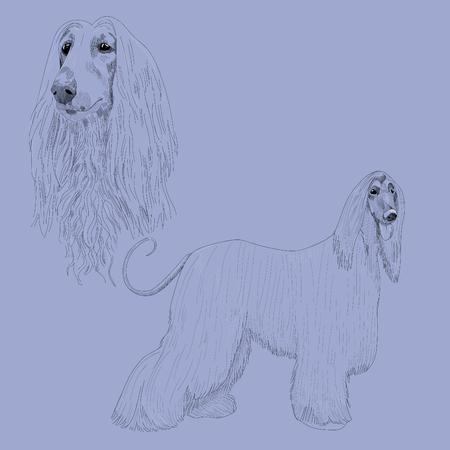 borzoi: Afghan hound sketch. Illustration