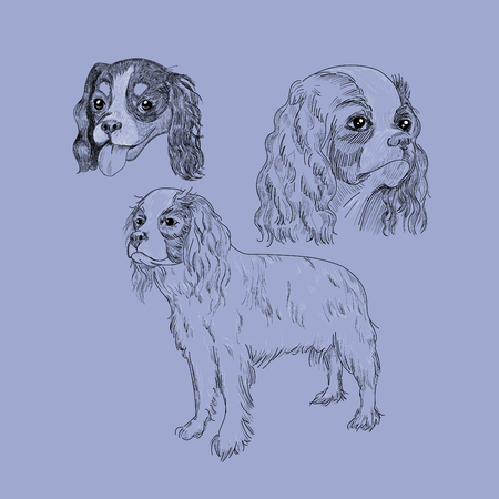Cavalier King Charles spaniel portrait. Illustration