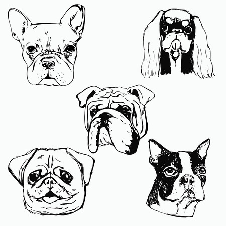 Boston Terrier Stock Photos And Images