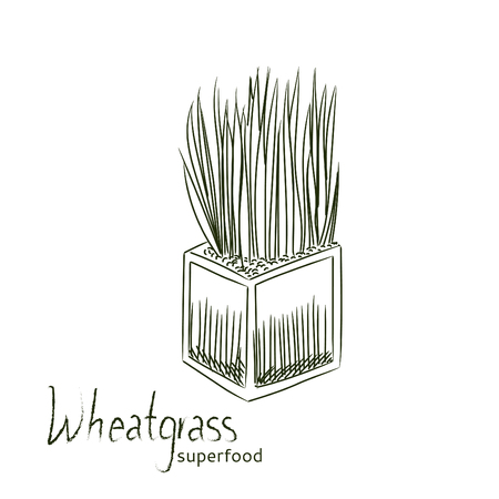 Wheat grass hand drawn sketch isolated on white background. Illustration