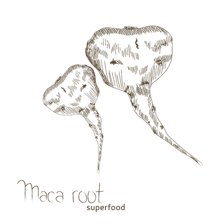 Maca Root hand drawn sketch isolated on white background. Illustration