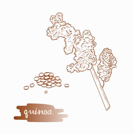 Quinoa plant hand drawn illustration isolated on white background.