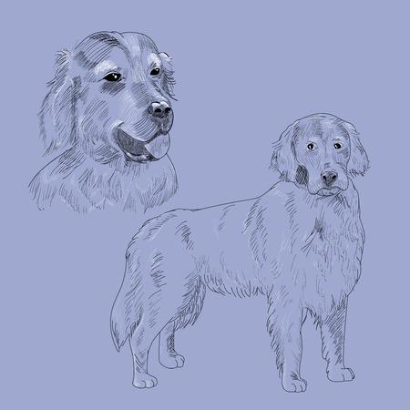 Retriever purebred dog portrait.