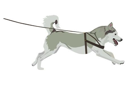 Harnessed husky sobre fondo blanco.