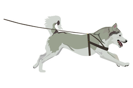 Harnessed husky on white background.