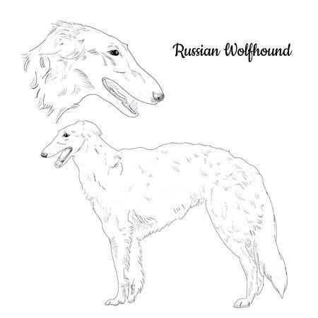 狩猟犬の品種。ロシアのボルゾイ犬の肖像画。  イラスト・ベクター素材