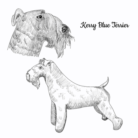 kerry blue terrier: Hand drawn dog portrait isolated.